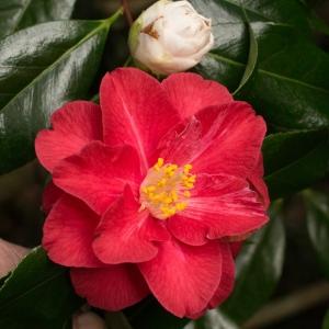 Camellia japonica 'Lady Vansittart Pink'