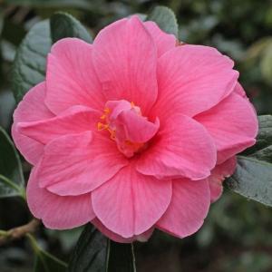 Camellia hybrid 'Maud Messel'