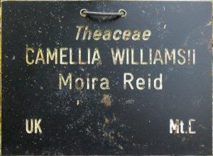Camellia x williamsii 'Moira Reid'