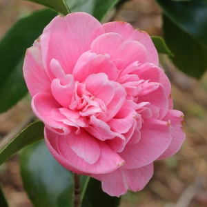 Camellia japonica 'Mrs Delacquer's Beauty'