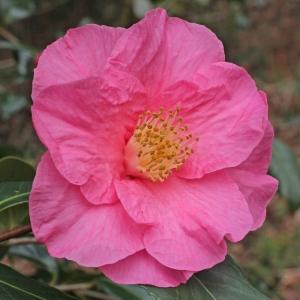 Camellia japonica 'Muskoka'