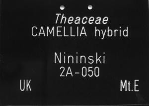 Camellia hybrid 'Nijinski'