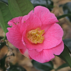 Camellia x williamsii 'Saint Michael'