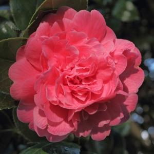 Camellia japonica 'Triumphans'