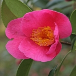 Camellia x williamsii 'St Michael