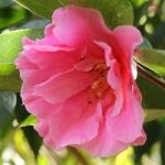 Camellia hybrid 'Confucius'