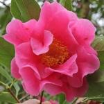 Camellia hybrid 'Buddha'